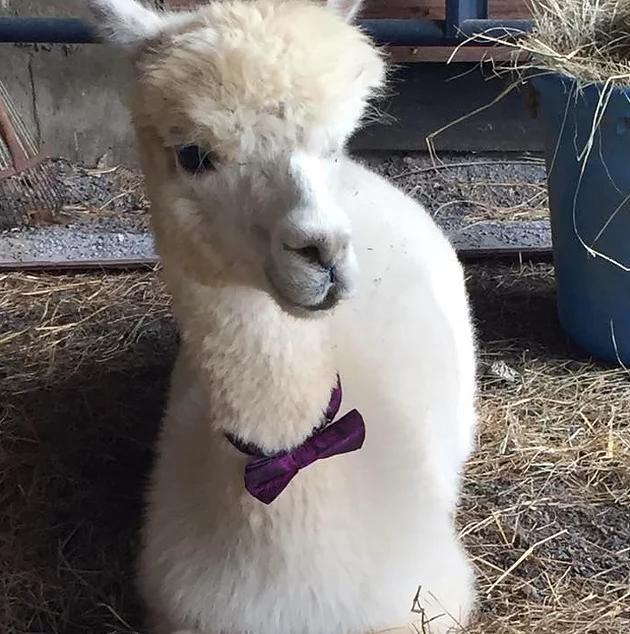 alpaca with bow tie